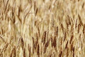 冬期の麦栽培