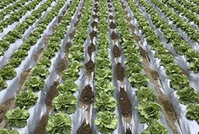 冬期のレタス栽培