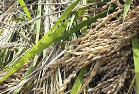 もち米の種播教室